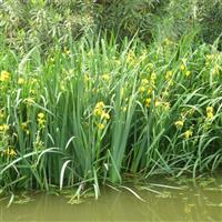 大量供应 黄菖蒲 ,香蒲,花叶芦竹 等水生植物
