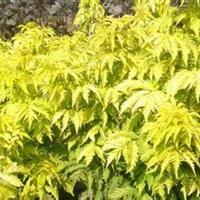 金叶接骨木价格,金叶接骨木种植,金叶接骨木繁育中心