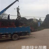 供应12公分切杆桂花树,10公分切杆罗汉松