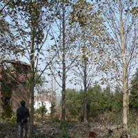 2017年米径10公分20公分杂交马褂木产地价格