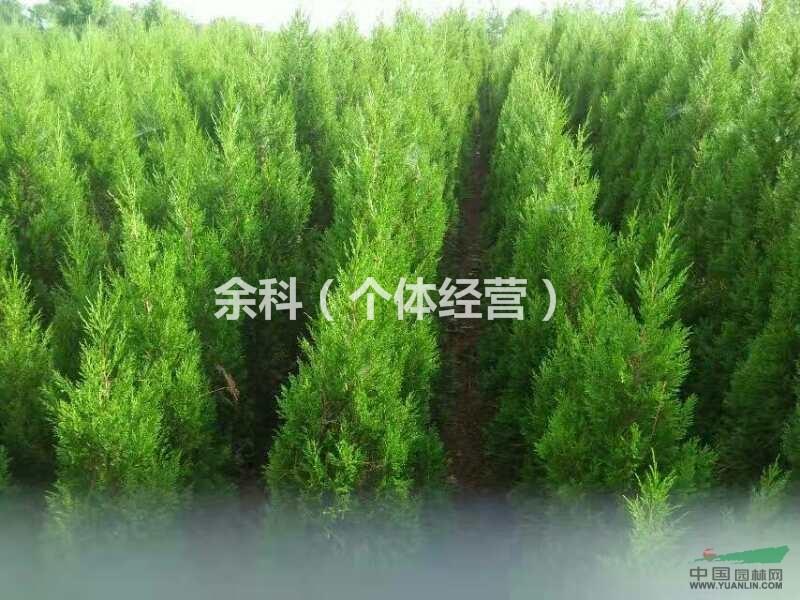 壁纸 成片种植 垂柳 风景 柳树 树 植物 种植基地 桌面 800_600