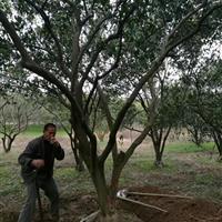 5米丛生胡柚树