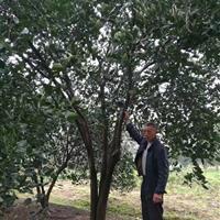 独杆精品胡柚树