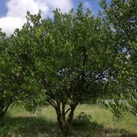 4米丛生胡柚树