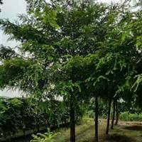 江苏低价批发红豆杉大树苗