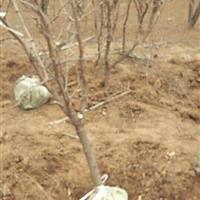 供应冬枣树6公分