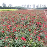 供应;蔷薇、丰花月季、红帽月季、黄帽月季