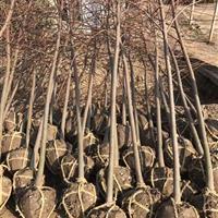 江蘇地區供應美國紅楓1—8公分