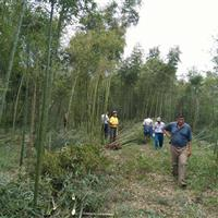 江苏星星园林竹子起苗中,青竹,毛竹,刚竹等品种