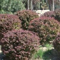 80-100公分紫叶小檗球销售,紫叶小檗球厂家,紫叶小檗种植
