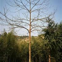 出售:胸径6-10的檫树