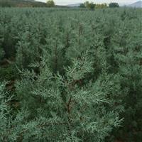 蓝冰柏种植基地 直销蓝冰柏工程苗 绿化苗 规格齐全 量大从优