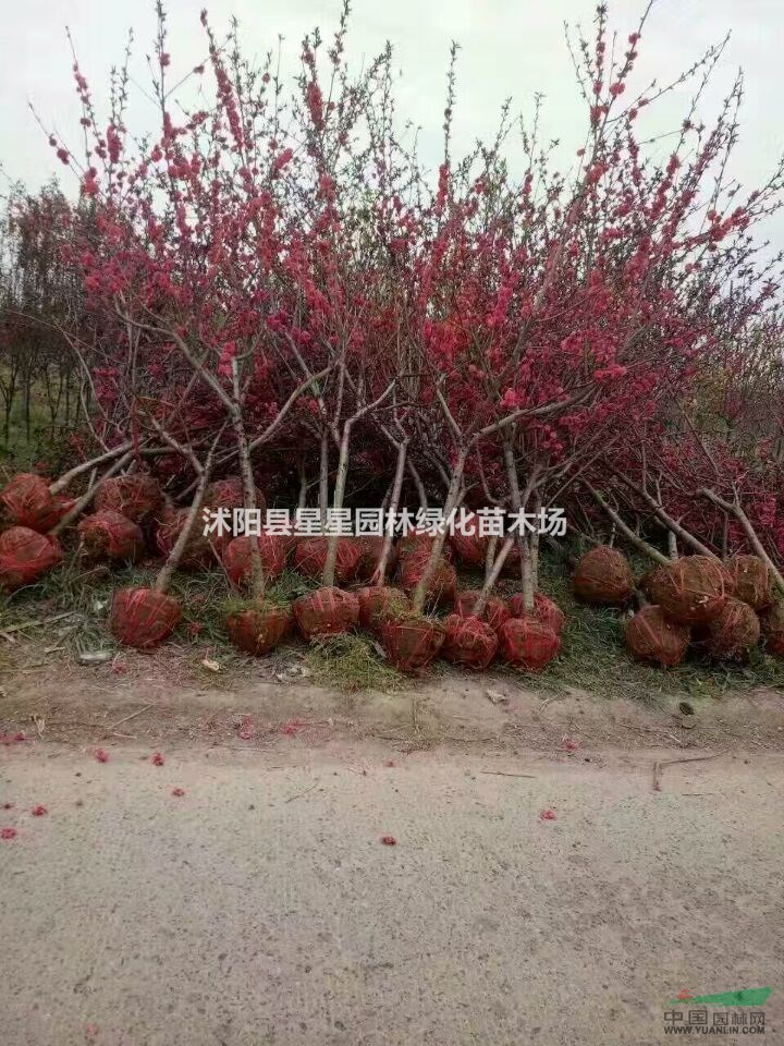 沭阳县星星园林绿化苗木场