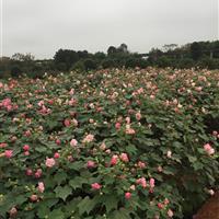 木芙蓉、湖南木芙蓉价格、丛生木芙蓉图片、木芙蓉小苗、多杆芙蓉