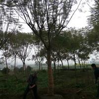 四川乐山辜氏苗木出售栾树(万亩)蓝花楹(千亩)香樟树,朴树