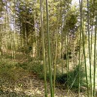 早园竹、刚竹、淡竹、金镶玉竹、紫竹、小毛竹、箬竹、