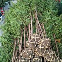 出售南方红豆杉/曼地亚红豆杉,适用造林/征用/工程/盆景用苗