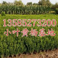 高度20-25公分小叶黄杨苗价格0.18元,小叶黄杨价格
