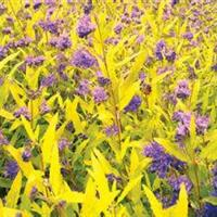 金叶莸价格,金叶莸种植基地,金叶莸0.5元