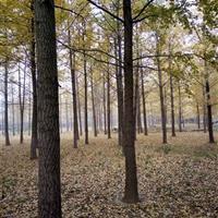 银杏树、广玉兰、紫玉兰、紫叶李、红榉、栾树、国槐、乌桕