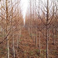 水杉、落羽杉、池杉、金叶水杉、云杉、红豆杉