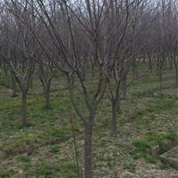 出售10-13樱花,8-10榉树,10-15乌桕大量出圃