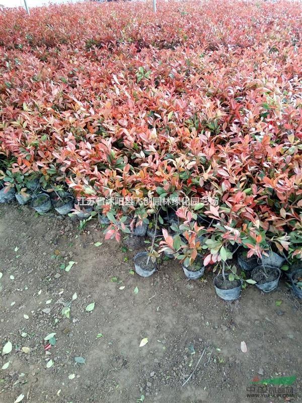 红叶石楠、金森女贞、毛娟、红天竹、洒金珊瑚、金边冬青