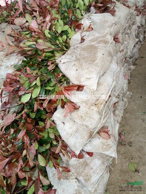 红叶石楠、金森女贞、金边冬青、冬青、海桐、毛娟、红天竹