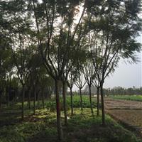 栾树(万亩)蓝花楹(千亩)香樟树,朴树