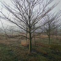 灯台树,苗圃灯台树价格,13公分灯台树---20公分灯台树