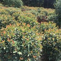 常州苗圃供应优质【含笑球】60-120cm  15000棵