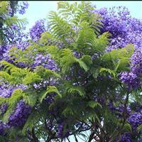 蓝花楹树、蓝花楹小苗