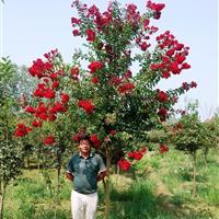安徽绿地美国紫薇工程苗