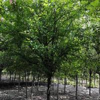 垂丝海棠,成都供应5-12公分垂丝海棠