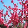 红叶李,红枫,紫薇,樱花,垂丝海棠,西府海棠,花石榴,龙爪槐