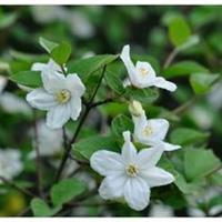 大花溲疏价格,大花溲疏种植地,大花溲疏厂家,大花溲疏1.5米