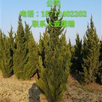 大量供应安徽龙柏,精品龙柏20~600cm