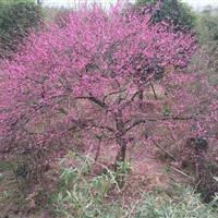 出售8-15公分大红梅,骨里红,绿梅,垂枝梅