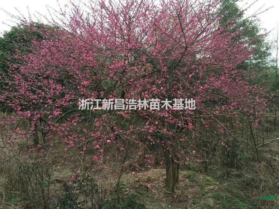 首页 绿化苗木频道 苗木供应 绿化苗木 乔木 出售8-15公分大红梅,骨里