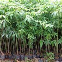 福建10-20公分木棉树价格