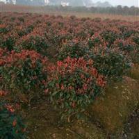 红叶石楠球,高杆红叶石楠树,红叶石楠图片