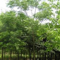 江苏特价批发苦楝树,七叶树、黄连木、枫杨、龙爪槐、 泡桐