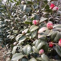 茶花、红叶石楠球、金森女贞球、冬青球、黄杨球