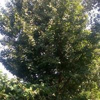 【砀山】供应矮壮银杏树
