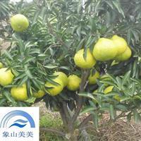 一年生春香桔柚苗(象山青),适合观光休闲园的优良柑橘苗木