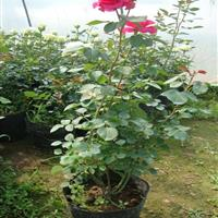 供应月季大花月季品种月季微型月季丰花红帽月季30-80公分高