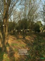 丛生木瓜树行情报价\丛生木瓜树图片展示