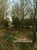 丛生木瓜树3行情报价\丛生木瓜树3图片展示