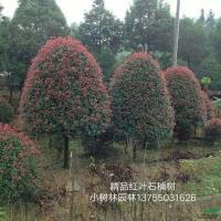 湖南精品红叶石楠树