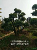 精品杨梅树行情报价\精品杨梅树图片展示